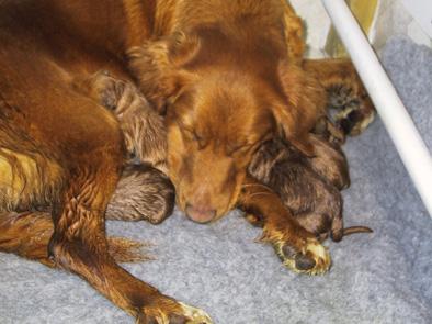 Chila har fått sina 6 valpar och hon sover gott 010509!