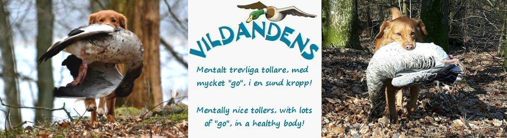 "Vildandens kennel, Nova Scotia Duck Tolling Retriever ""Tollare"", uppfödare Anette Björgell, Skåne"